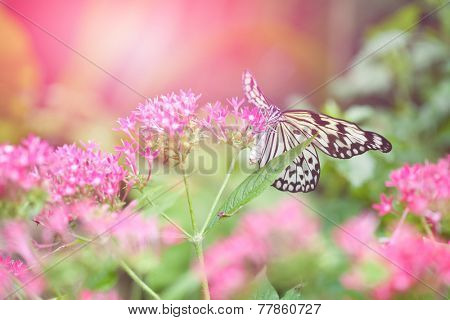 Beautiful paper kite butterfly (tree nymph) collecting nectar from pink flowers against the evening sun