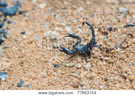 Black Asian Forest Scorpion