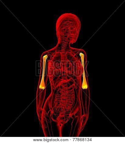 3D Rendered Illustration Of The Female Humerus Bone
