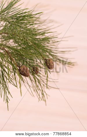 Pine Tree Branch Close-up