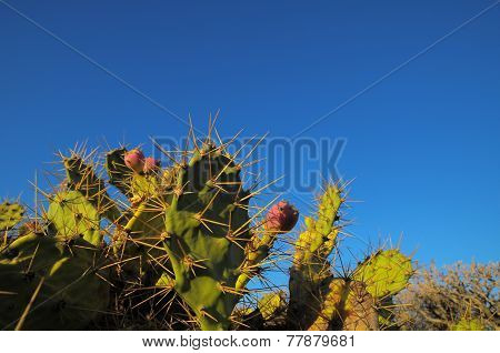 Green Prickly Pear Cactus Leaf