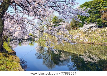 Hikone, Japan sakura cherry trees at Hikone Castle outer moat.