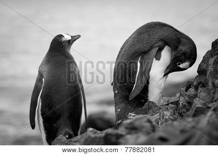 penguins standing on the rocks in the Antarctic, the water in the background