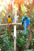 foto of sun perch  - Two beautiful adult blue and yellow macaw perched on a wooden post basking in the sun - JPG