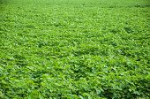 picture of land-mass  - A bed of green Moong lentil field in India - JPG