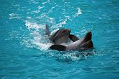image of sochi  - Two dolphins close up - JPG