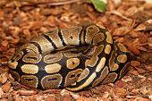 pic of pythons  - Ball Python  - JPG