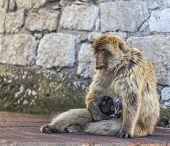 pic of gibraltar  - Barbary Macaque feeding the baby near a rock wall in Gibraltar - JPG