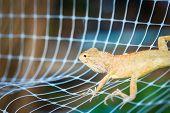image of godzilla  - orange iguana on the net in thailand - JPG