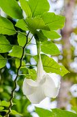 image of angel-trumpet  - Angel trumpet flower in full bloom Datura - JPG