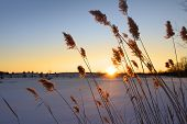 stock photo of tall grass  - Tall grass with sun set in the background - JPG
