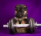 stock photo of alsatian  - German Shepherd puppy with dumbbell - JPG