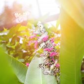 picture of nymphs  - Beautiful paper kite butterflies  - JPG
