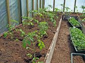 stock photo of tomato plant  - First young tomato plants in the greenhouse - JPG