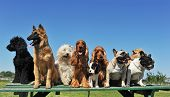stock photo of belgian shepherd dogs  - group of puppies purebred dogs on a table - JPG