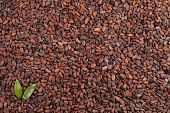 stock photo of cocoa beans  - background of fresh and natural cocoa beans with green leaves in left conner - JPG