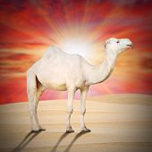 stock photo of dromedaries  - The Arabian camel or The Dromedary  - JPG