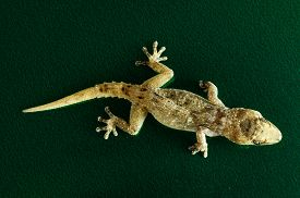 image of hemidactylus  - Small Gray Gecko Lizard on a Colored Background - JPG