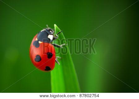 Ladybug With Hearts on Back