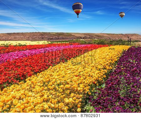 Spring windy day. Field of blooming red, yellow and pink  buttercups - ranunculus. Two balloons fly over the field