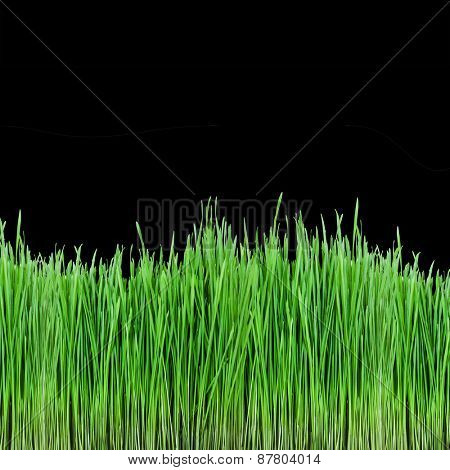 sprouts of green wheat grass on black background