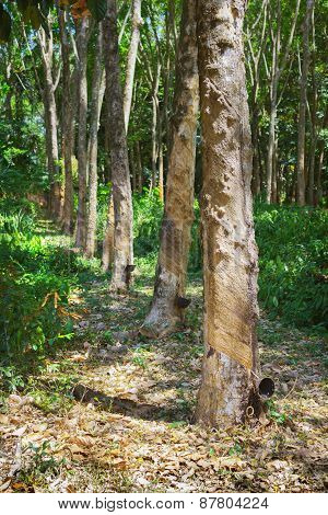 Rubber Tree Natural Latex Extraction. Hevea Plants In Thailand
