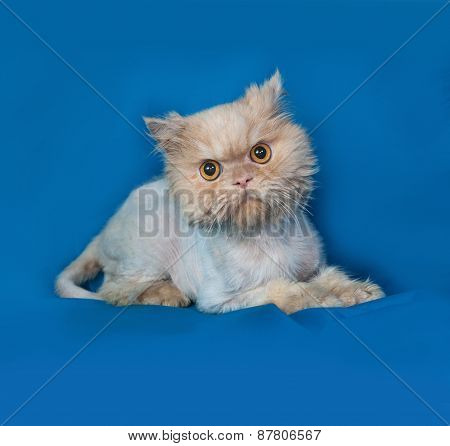 Persian Bobbed Cat Lies On Blue