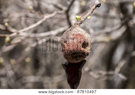 Withered of branch autumn pear