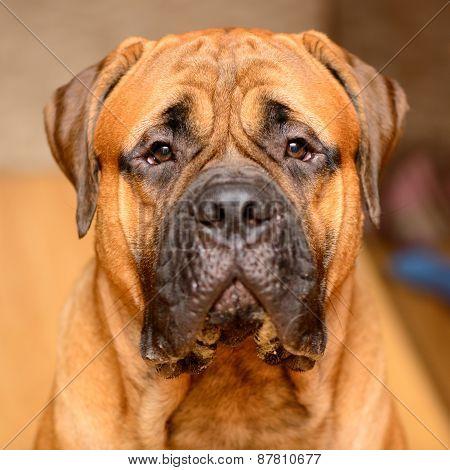 Dog Portrait Close-up