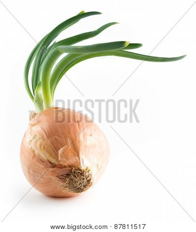 Onion On White