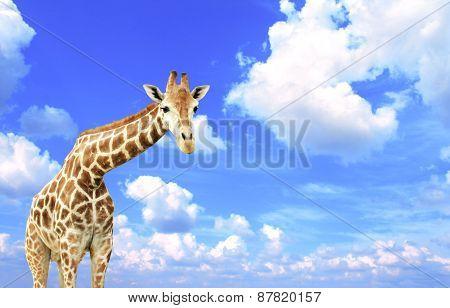 Giraffe on blue sky background