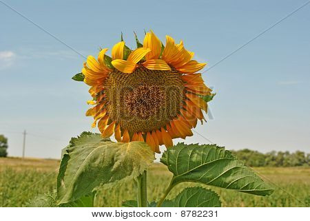 sunflower blossoming