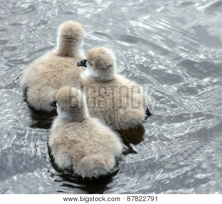 Three Black Swan Cygnets