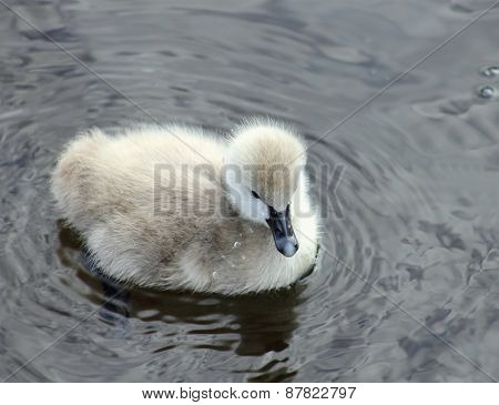 Black Swan Cygnet