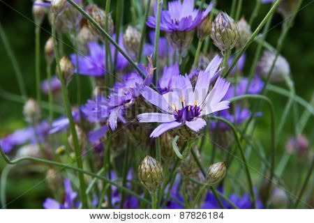 Сupid's-dart (Catananche)