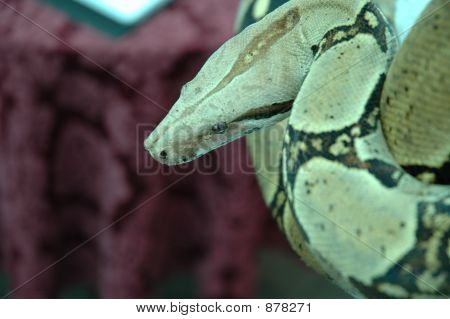 Snake Surprise