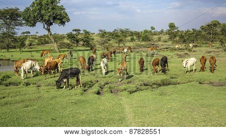 Cows And Cattles In Masai Mara National Park.