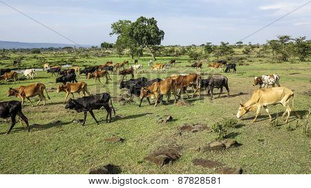 Grazing Cows In Masai Mara National Park