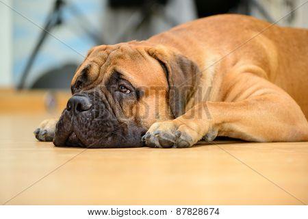 Bullmastiff Dog Lying