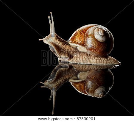 Garden Snail Side View
