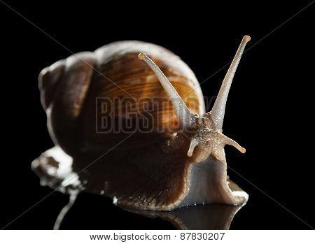 Crawling Snail On Black