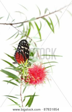 Butterfly On A Pink Flower Isolated On White Background