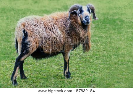 Ram With Horns And  Long Fur On The Pasture