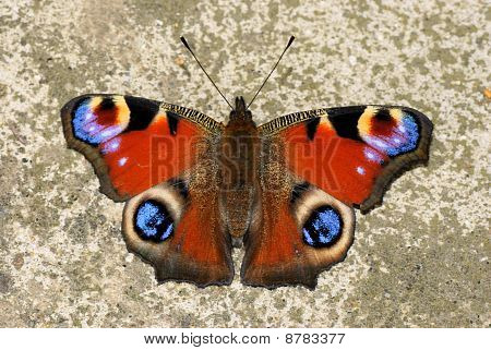 Peacock Butteryfly , Inachis io