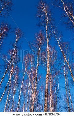 White birch branches on a background of blue sky
