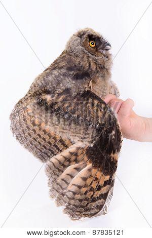 Bird Owl Sitting