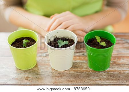 people, gardening, organic, planting and profession concept - close up of pots with sprouts over gardener or woman hands at home