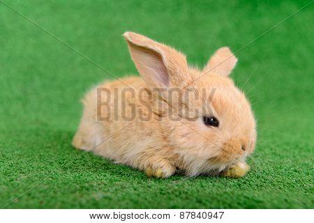 Little Newborn Rabbit