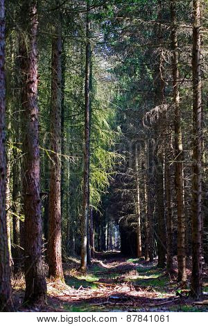 Path Through A Dark Forest With Conifers