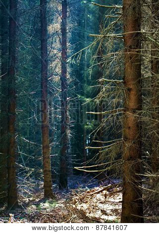 Dark Forest With Conifers